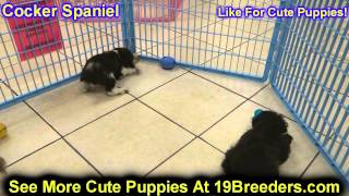 Cocker Spaniel, Puppies, For, Sale, In, Butte Silver Bow, Montana, Mt, Helena, Havre, Kalispell