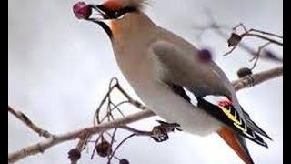 Птицы,Певчие птицы, свирестель, зеленушка,скворец передразнивает, дятел, разноголосье