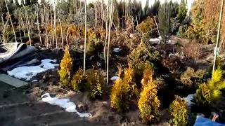 видео питомник хвойных растений