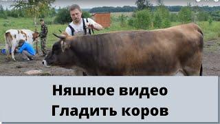 Гладить коров