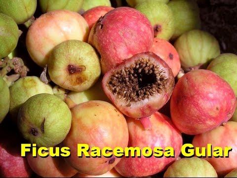 Ficus Racemosa Gular How to propagate from cutting & seeds (Urdu/ Hindi)