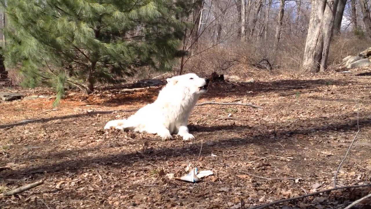 And the Wind Howls Atka