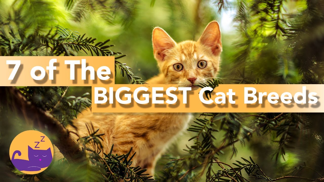 7 GIANT Cat Breeds - Did You Know About These HUGE Cats?!
