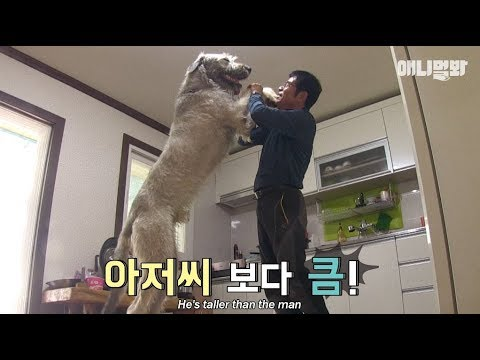 The world's biggest dog! Irish Wolfhound