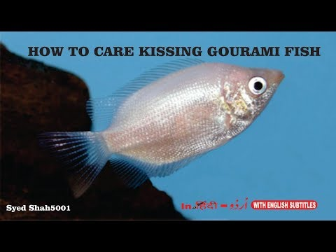 How To Care Kissing Gaurami Fish Hindi English Sub