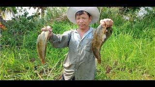 Catch catfish - catch snakehead - catch perch   Vietnamese co fish