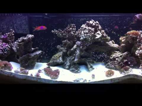 Starting A Tank With Damselfish (fish Myth #1)