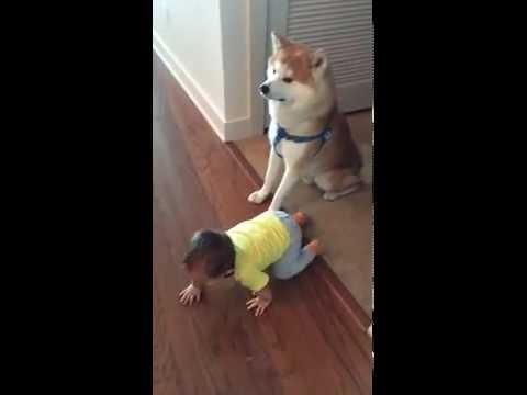 Akita and toddler in USA