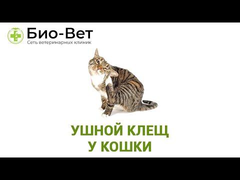 Ушной Клещ У Кошки & Симптомы И Лечение Ушного Клеща У Кошки.Ветклиника Био-Вет