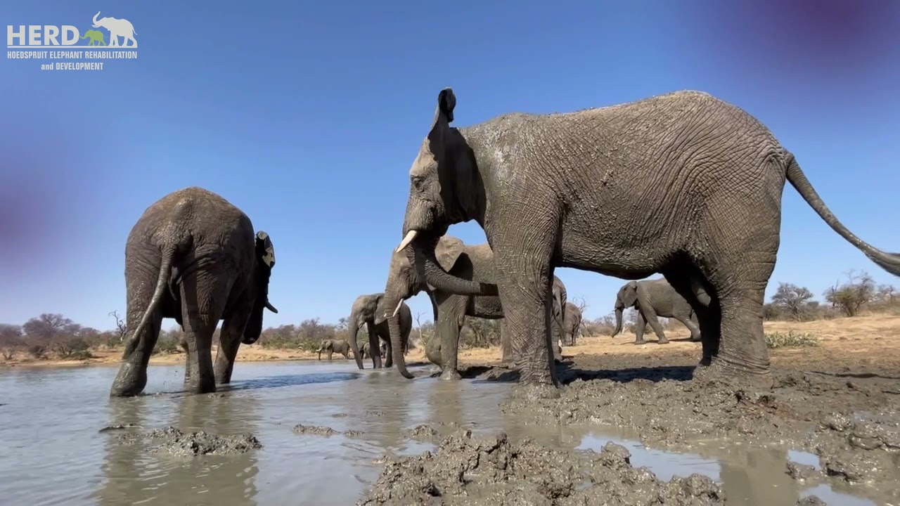Down by the dam, the elephants treat themselves to a mud bath