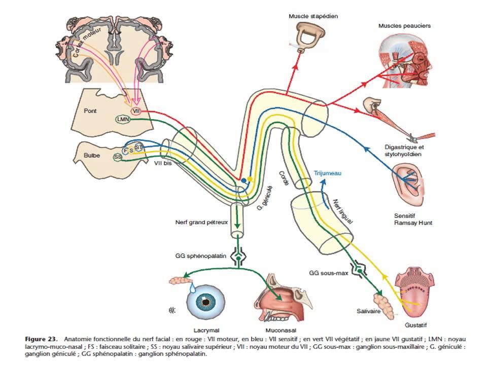 NEUROLOGIE Semiologie des nerfs craniens 2015 - YouTube