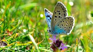 Large Blue Butterfly at Collard Hill