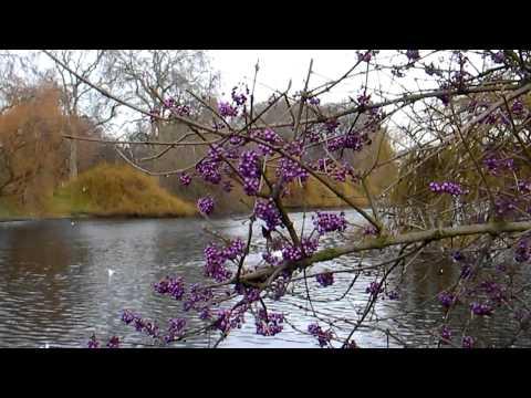 Callicarpa Bodinieri Bush, Lakeside ...  Σαιντ Τζέιμς Παρκ,