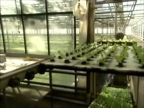 Topraksız tarım marul yetiştiriciliği