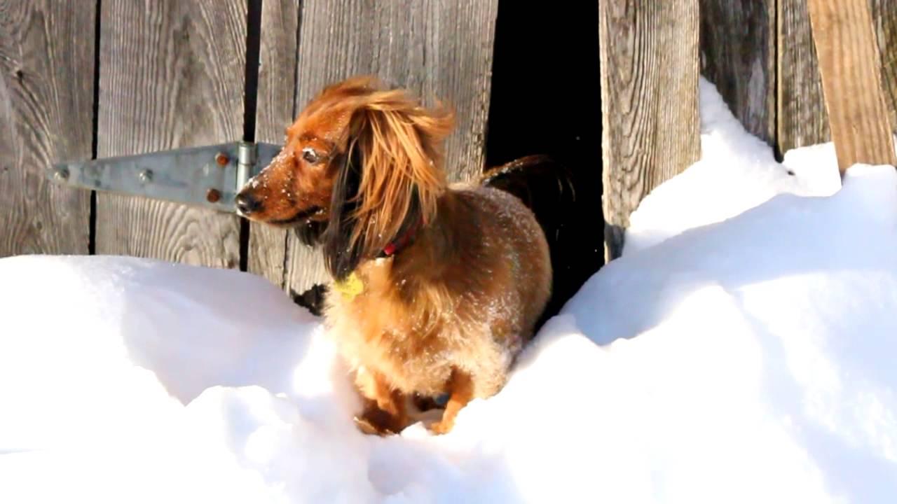 Peekaboo Dog Long Haired Mini Dachshund Teckel 224 Poil