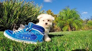 Atticus The Playful Maltese Male Puppy For Adoption Near San Marcos Ca