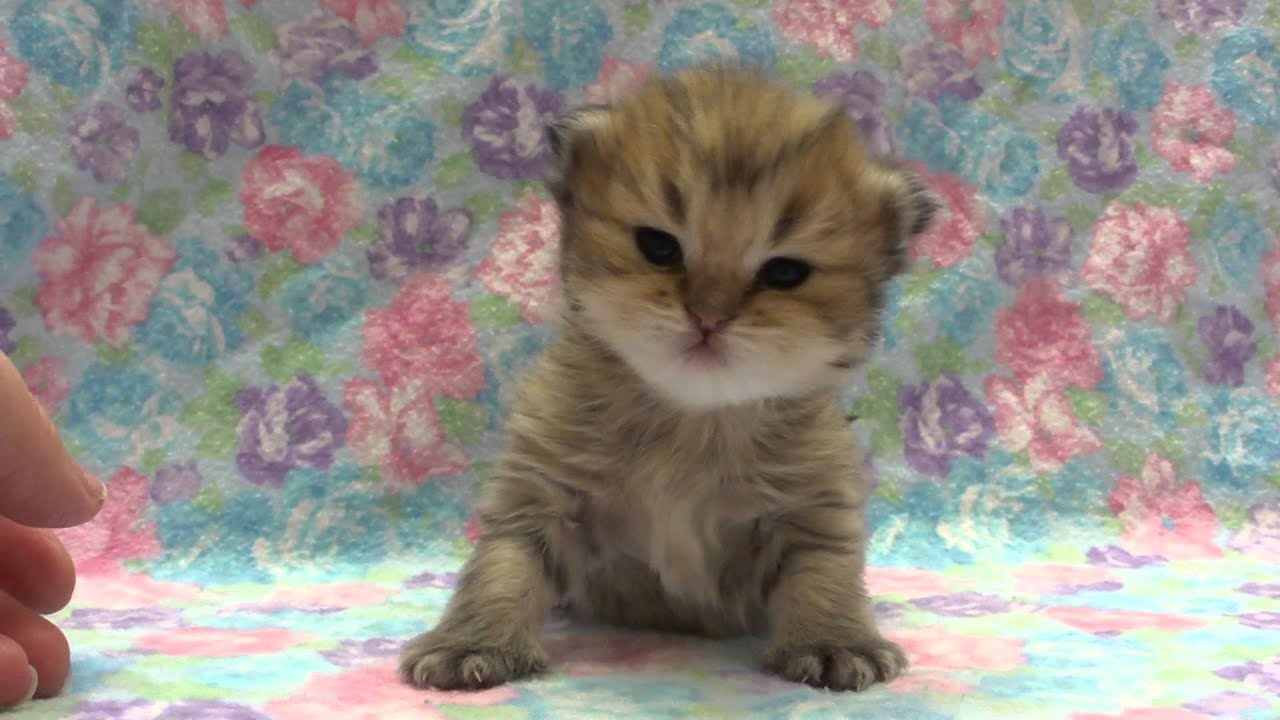 Jewel Female Chinchilla Golden Teacup Persian Kitten from