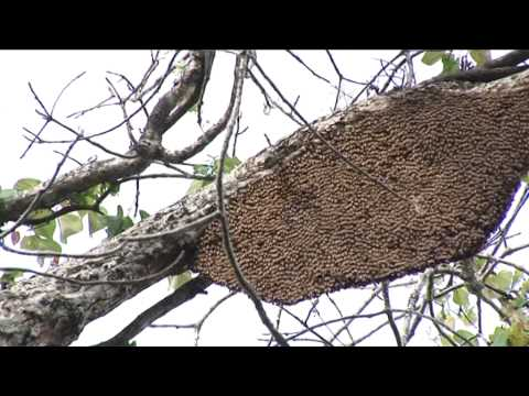 Wild Honey Collection and Processing