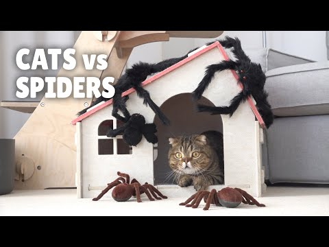 Cats vs Spiders