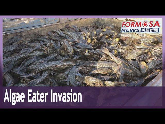 Abandoned algae eaters taking over Taiwan's lakes
