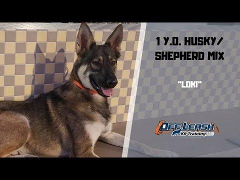 """1-y.o.-husky/shepherd-mix-""""loki""""-2-wk-b&t-w/-jennifer"""