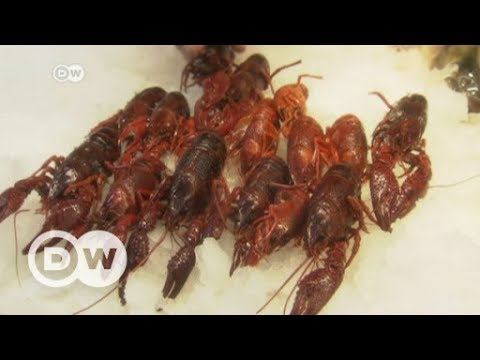Berlin Tackles American Crayfish Invasion | DW News