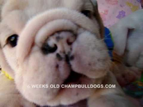 Best English Bulldog Puppies Life Stages Video New Born To 6 Weeks