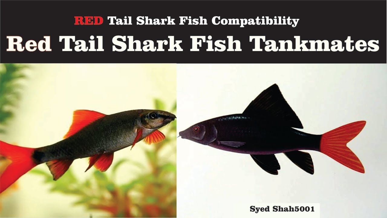 Redtail Sharks Fish Tankmates In Hindi Urdu With English Sub Youtube