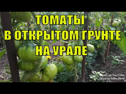 Самые урожайные сорта томатов. Обзор томатов в открытом грунте на Урале. | урожайные | открытого | открытом | томатов | томаты | огород | лучшие | грунте | грунта | сорта