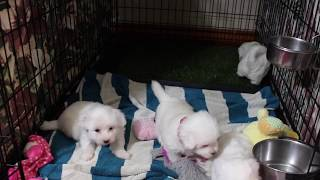 Coton Puppies For Sale 2/19/20