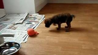 Border Terrier Puppy - 7 Weeks Old