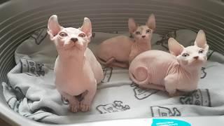 Забавные котята породы бамбино и двельф