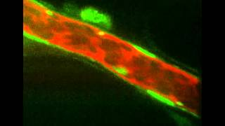 Intravital Molecular Imaging