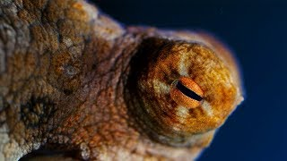 Octopuses are Absolutely Bizarre! | Natural World: The Octopus In My House | BBC Earth