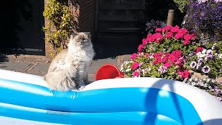 Ragdoll Cat Loves to Sit by the Pool