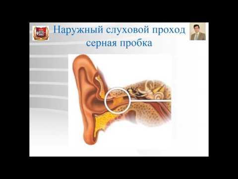 Лекция № 12. Органы чувств - 2: орган слуха и равновесия. Лекция по гистологии.