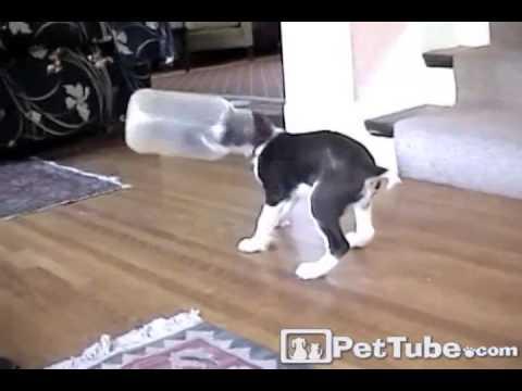 Puppy Loves His Helmet- PetTube
