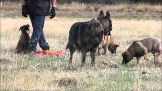 Tp005533711 Working Lines, Pure Bred German Shepherd Puppies