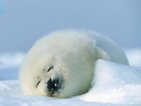 Foklar soğuk havada nasıl yaşayabilirler?