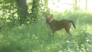 Boronia The German Shepherd Pup