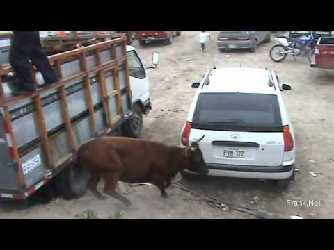 Vaca Loca brava escapa y ataca a gente en Fiesta Napa, Toros de mi Pueblo Vrs Ecuador