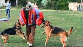 Собаки - телохранители. Супер собаки - немецкие овчарки и доберман. Dogs - bodyguards. Super dogs.
