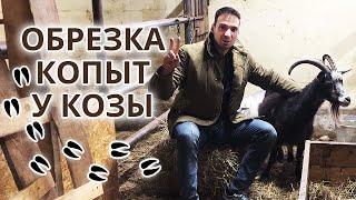 Как правильно обрезать копыта козам Обрезка и расчистка копыт козам