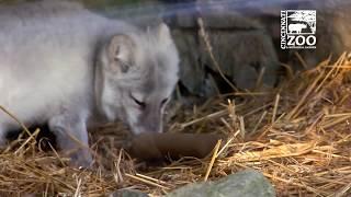 Arctic Fox Enrichment - Cincinnati Zoo