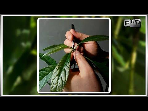 Как вырастить Авокадо из косточки в домашних условиях - (ч.4)