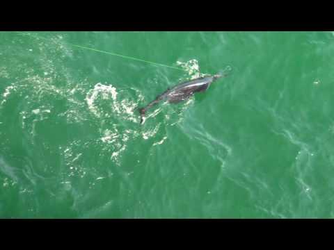 Sailfish Caught Pier Fishing