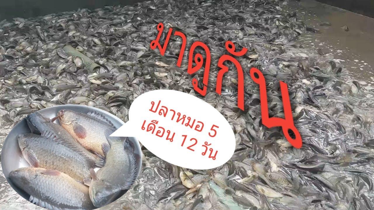 การเลี้ยงปลาหมอ 5 เดือน ในบ่อซีเมนต์