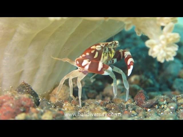 Harlequin Crab - cuteness overload