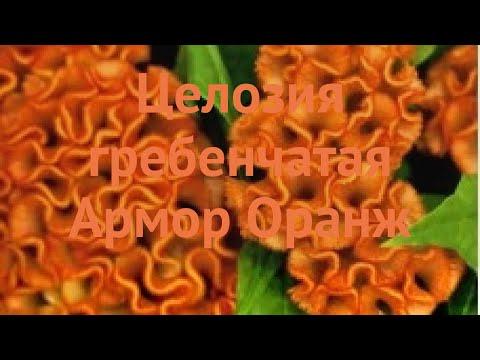 Целозия гребенчатая Оранж 🌿 гребенчатая целозия Оранж обзор: как сажать, семена целозии Оранж