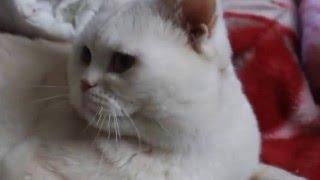 Кот съел собаку чихуахуа! Шок!!! Такого еще не было!